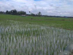 Hama Keong Serang Tanaman, Petani Di Rawang Resah